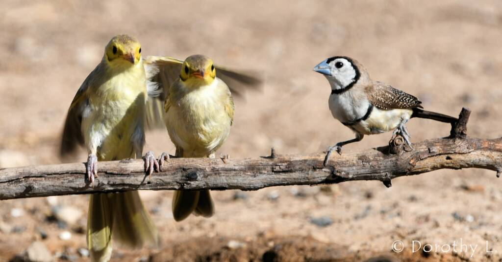 Double-barred Finch with Yellow-tinted Honeyeaters