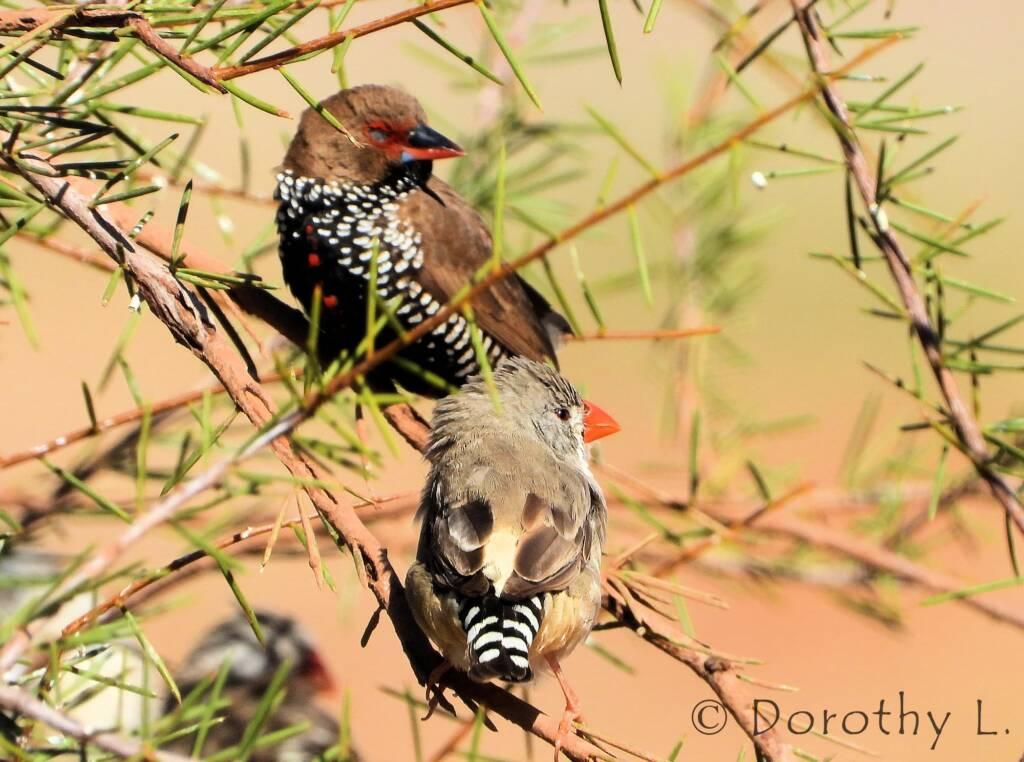 Painted Finch (Emblema pictum) and Zebra Finch (Taeniopygia guttata)